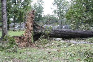 uprooted tree in San Antonio