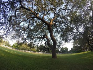 Pruned Live Oak Tree San Antonio