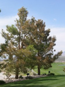 Pine Tree Damaged By Weed And Feed