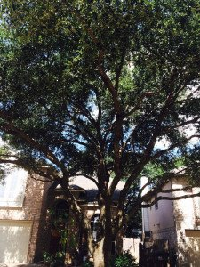 Crown Thinning of Tree