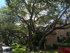 Live Oak Tree Trimmed