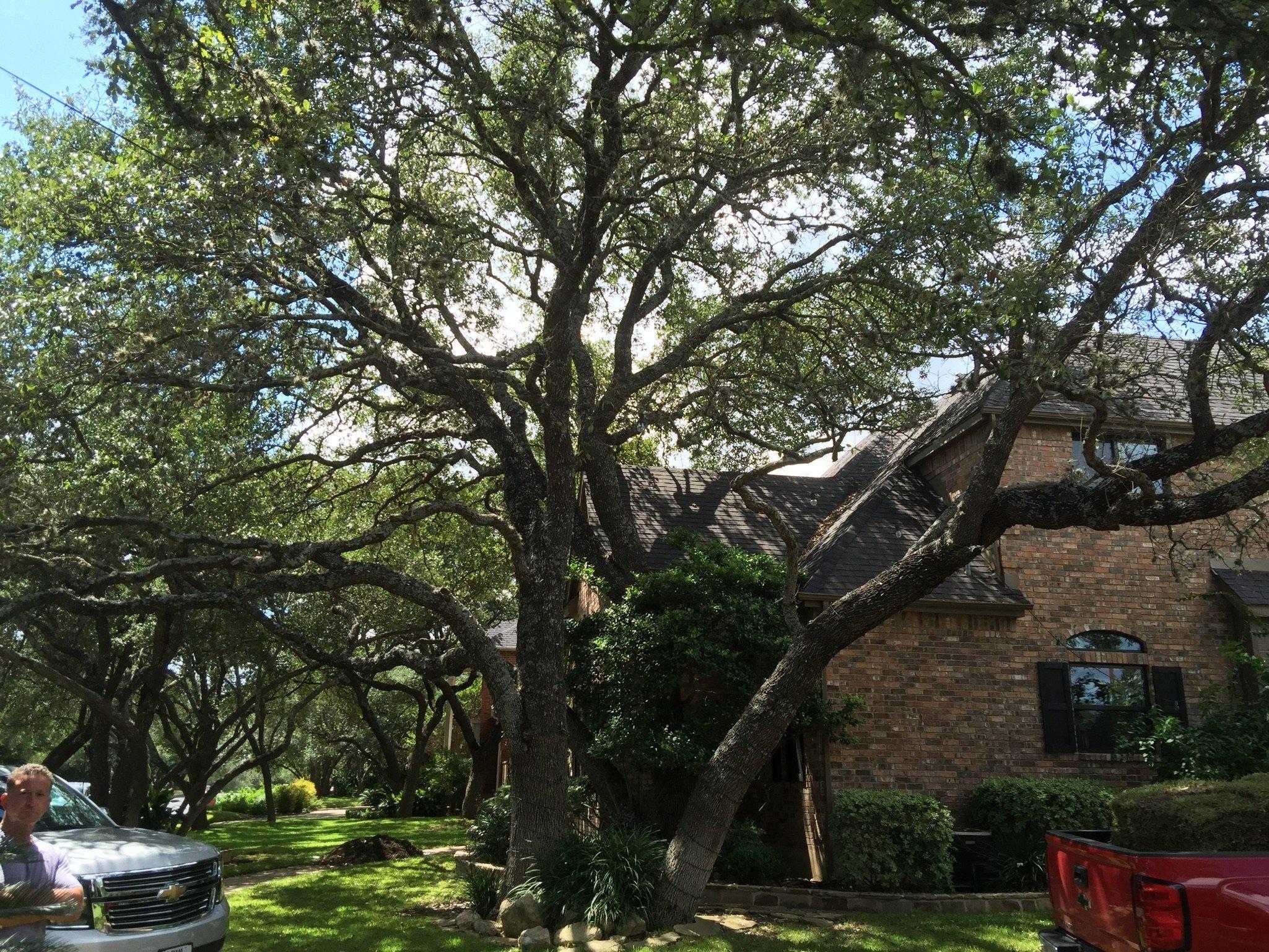 Live Oak Tree Trimmed Picture San Antonio Tree Surgeons