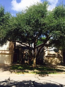 Live Oak Trimmed and Thinned