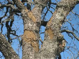 Top 5 Tree Diseases In San Antonio