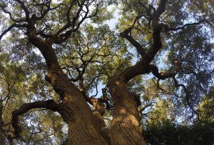 Tree Trimming Performed In San Antonio